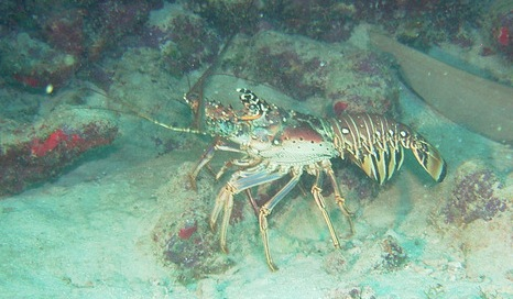 Caribbean Spiny Lobster Migration